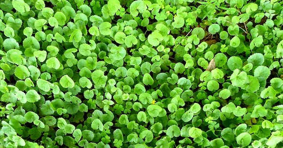 Energizzanti naturali, Centella asiatica