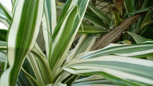 Purificare l 39 aria in casa 5 piante d 39 appartamento utili for Piante verdi da appartamento facili da tenere