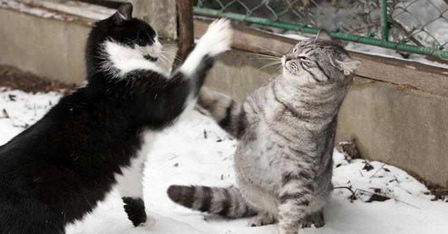 Gatti ridurre il rischio di contagio da fiv pets - Che malattie portano i gatti ...
