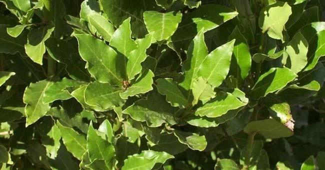 Decotto foglie di alloro come prepararlo l 39 albero for Pianta di alloro