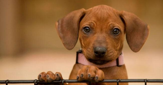 Razze di cani i pi tranquilli greenstyle for Cani da tenere in casa