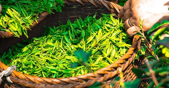Tè giallo foglie