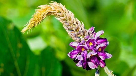 Kuzu, fiore