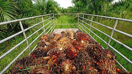 Piantagioni di olio di Palma