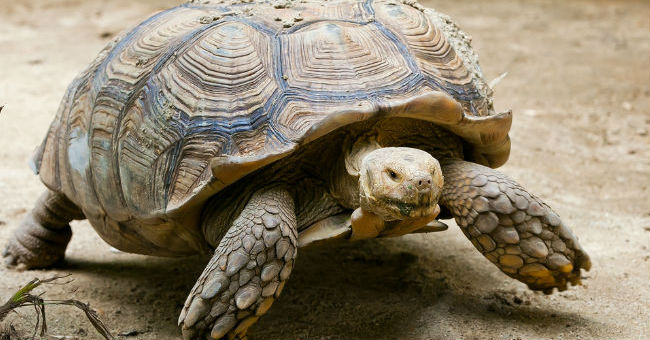 Tartaruga da terra come allevarla greenstyle for Acquario di tartarughe