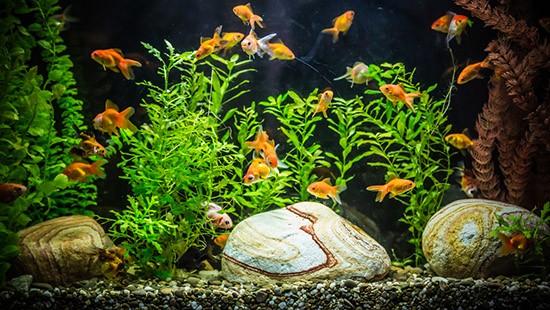Pesci rossi come pulire l 39 acquario greenstyle for Acquario per pesci