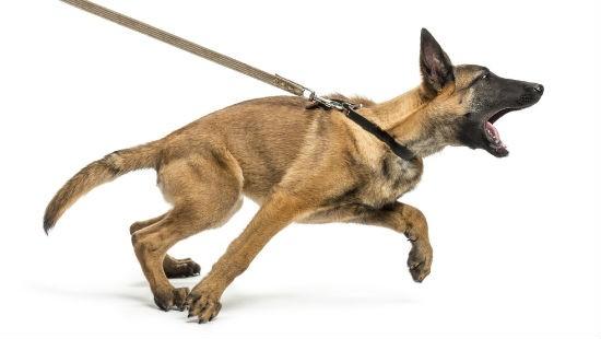 Cane che tira al guinzaglio