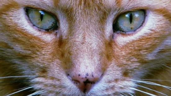 Occhi naso gatto
