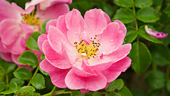 Fiore della rosa canina