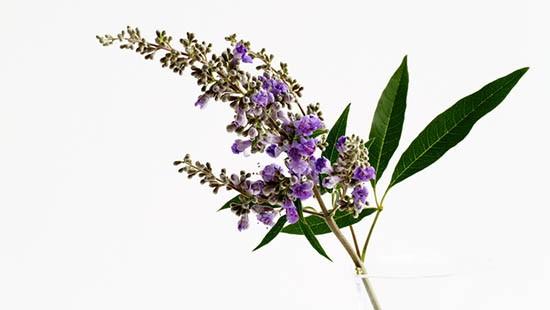 Fiore di agnocasto