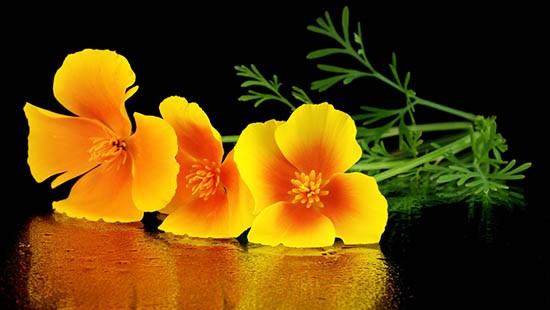 Escolzia, fiori