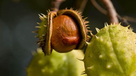 Ippocastano, il frutto