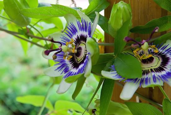 Passiflora in giardino