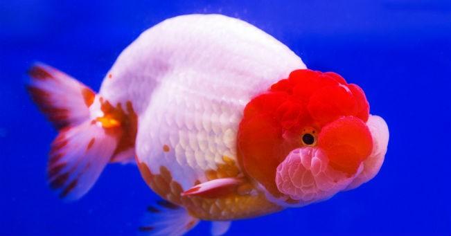 pesci rossi variet e cura greenstyle