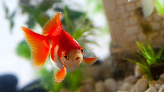 Pesce rosso acquario