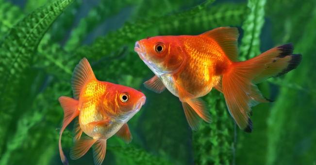 Pesci rossi cura dell 39 acquario greenstyle for Pesci rossi acquario