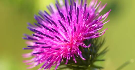 Bardana, fiore