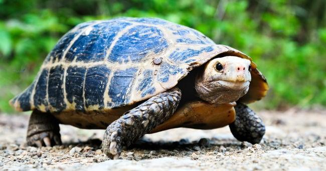 Tartaruga da terra come allevarla greenstyle for Termoriscaldatore per tartarughe