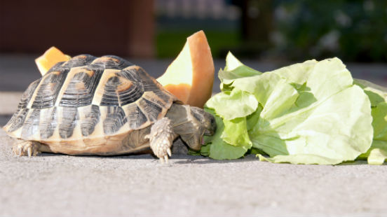 Tartaruga cibo
