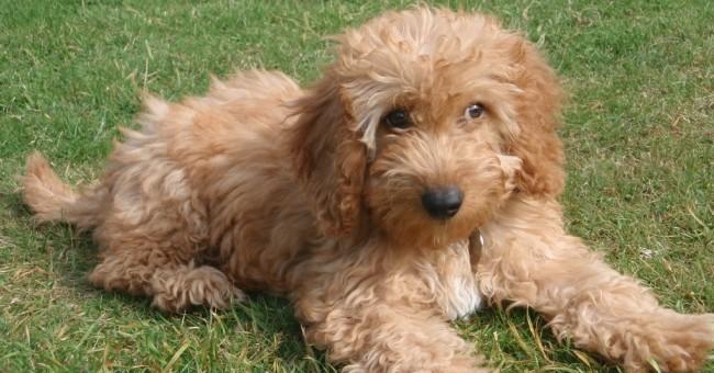 Cockapoo caratteristiche del cane greenstyle for Tequila e bonetti cane razza