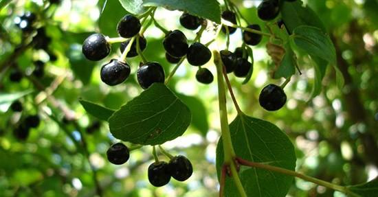 Bacche di Maqui, albero