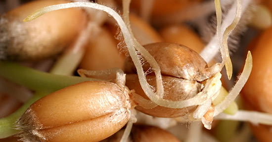 Germe di grano, macro