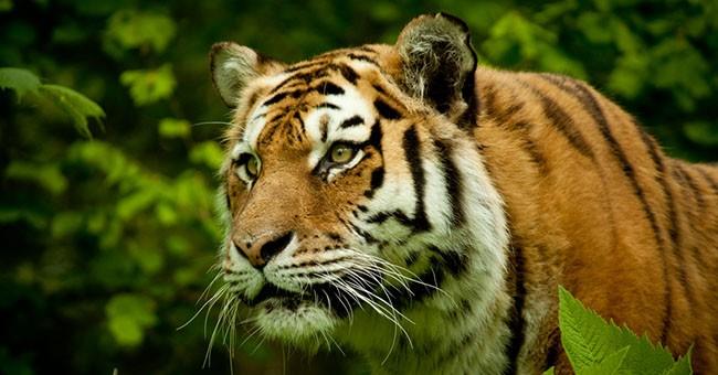 Tigri la domanda in cina alimenta il bracconaggio pets for Disegni delle tigri