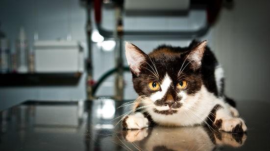 Gatto filaria