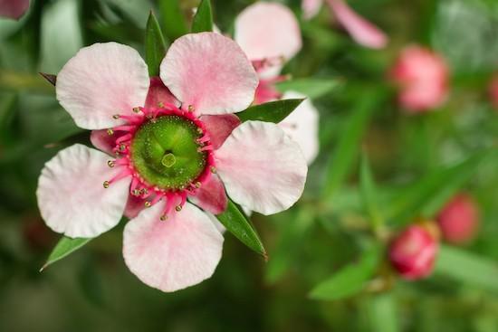 Fiore di Manuka