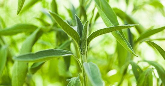 Salvia, piantine