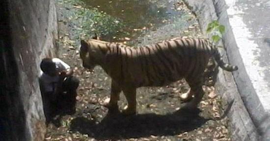 Aggressione tigre