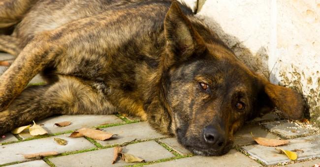 Artrite nei cani speranza dai rimedi naturali pets for Antinfiammatorio cane