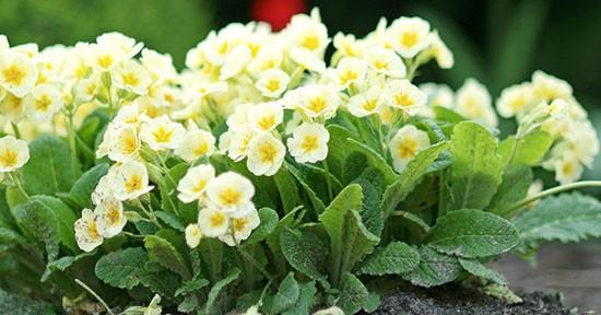 Primule coltivazione e cura greenstyle for Primule immagini