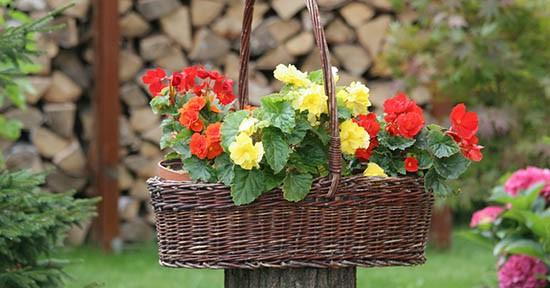 Begonia in giardino