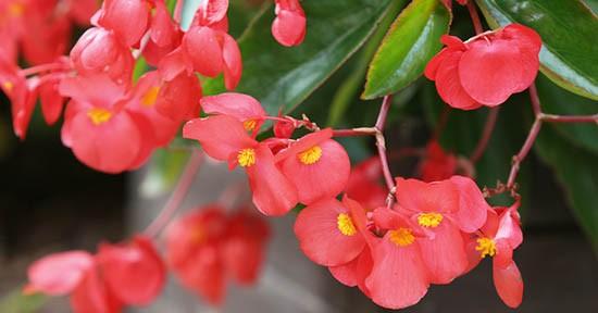 Begonia ibrida