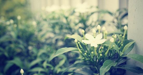 Gelsomino in giardino
