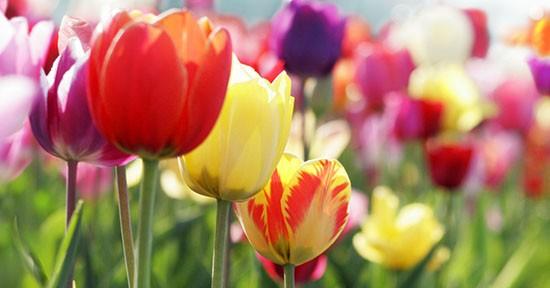 Tulipani nel prato