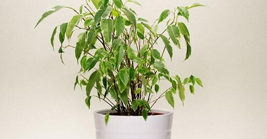 Ficus in vaso
