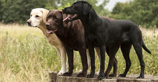 Labrador la razza di cane pi amata negli usa greenstyle for Tequila e bonetti cane razza