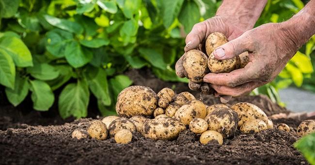 Patate in orto