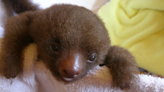 Baby bradipo