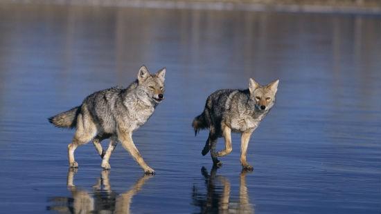 Coppia di coyote