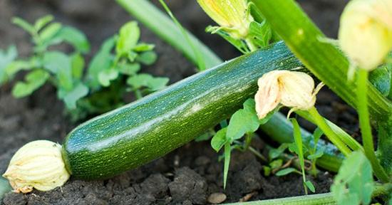 Zucchina in orto