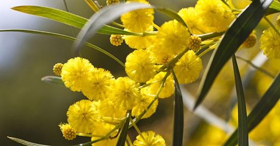 Mimosa sull'albero