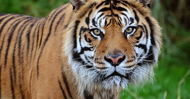 Monitorare le tigri con un 39 app greenstyle for Disegni delle tigri