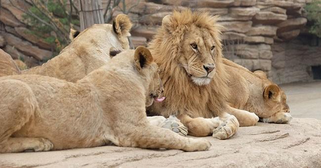 Leone soppresso in cina per aver ucciso un dipendente - Uomo leone a letto ...