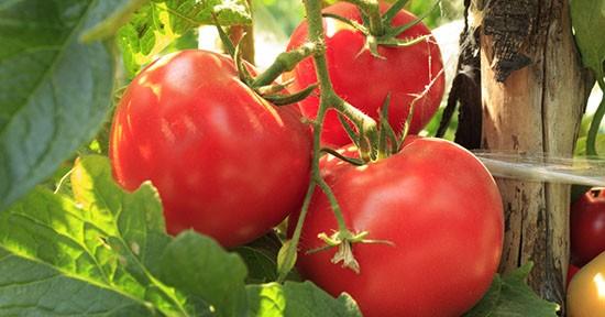 Pomodoro in orto