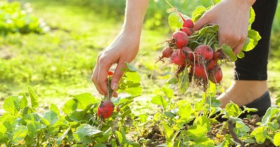 Ravanelli in orto