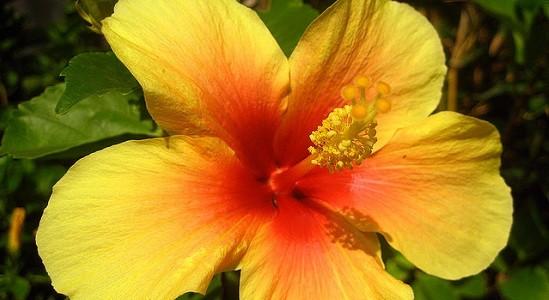 Hibiscus multi color