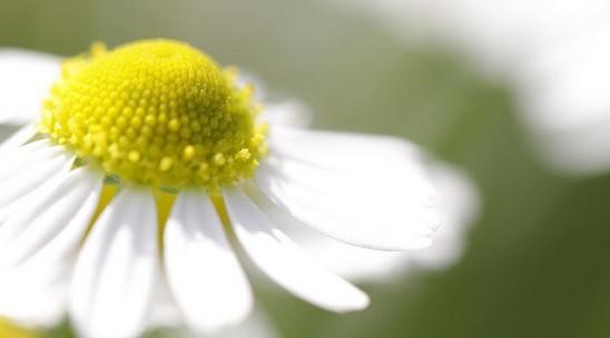 Macro of german chamomile